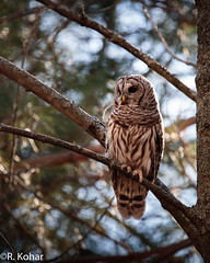 Barred owl (rkohar) Tags: wildlife owl canon6d sigma sigma150600 barred kingston ontario canada cans2s