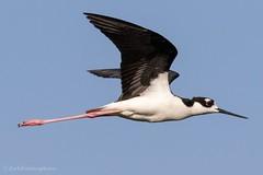 Black-necked stilt. (zachzombiesphotos) Tags: wildlifephotography animalphotography southflorida animal bird wildlife sigma canon