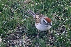 Chipping Sparrow In Front Yard 002 - Spizella Passerina (Chrisser) Tags: birds bird sparrows sparrow chippingsparrows chippingsparrow spizellapasserina nature ontario canada canoneosrebelt6i canonef75300mmf456iiiusmlens passerellidae