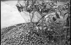netted cherry tree, Mitchell Avenue, Asheville, NC, Voigtlander Vitomatic II, Derev Pan 200, HC-110 developer, 5.13.19 (steve aimone) Tags: sapling tree cherrytree net netted wrapped asheville northcarolina voigtlander voigtlandervitomaticii vitomatic derevpan200 hc110developer 35mm 35mmfilm film blackandwhite monochrome monochromatic