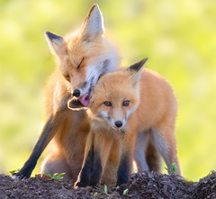 Bath Time (overthemoon3) Tags: fox foxfamily foxkit wildlife nature