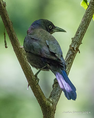 Grackle in Tree (strjustin) Tags: grackle beautiful bird animal
