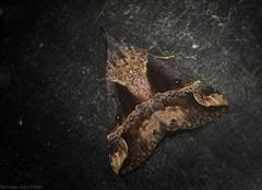 Dichromia quinqualis (dustaway) Tags: insecta lepidoptera tamborinemountain mounttamborine sequeensland queensland australia australianinsects australianmoths australianwildlife erebidae hypeninae dichromiaquinqualis