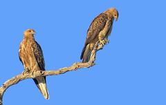 lagoon creek - pair of whistling kites #2 (Fat Burns ☮) Tags: whistlingkite haliastursphenurus kite raptor bird australianbird fauna australianfauna hawk nikond500 nikon200500mmf56eedvr barcaldine lagooncreek nature australiannature outdoors australia