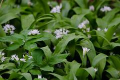 Wild garlic flowers (Dave_A_2007) Tags: flower nature plant wildgarlic stratfordonavon warwickshire england