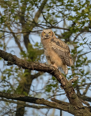 Great Horned Owlet (33) (Estrada77) Tags: owlet greathornedowl owl raptors birdsofprey distinguishedraptors birds birding wildlife spring2019 may2019 outdoors illinois animals nature nikon nikond500200500mm