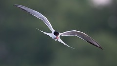 Common tern (JS_71) Tags: nature wildlife nikon photography outdoor 500mm bird new spring see natur pose moment outside animal flickr colour poland sunshine beak feather nikkor d500 wildbirds planet global national wing eye watcher
