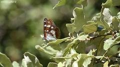 Sylvain azuré sous la canicule (Gorges de la Nesque - Vaucluse - 14 août 2018) (Carnets d'un observateur de la nature du Sud de la) Tags: insecte papillon sylvainazuré nature biodiversité microcosmos gorgesdelanesque vaucluse provence