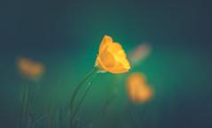 buttercups (Dhina A) Tags: sony a7rii ilce7rm2 a7r2 a7r kaleinar mc 100mm f28 kaleinar100mmf28 5n m42 nikonf russian ussr soviet 6blades manualfocus