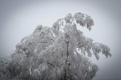 IMG_0616.jpg (Florent LANGLAIS 60) Tags: 2016 hiver