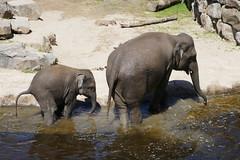After bath (~~Nelly~~) Tags: mechelen planckendael olifant kaimook tunkai