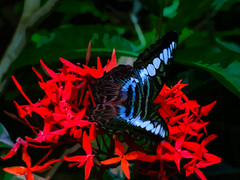 The Butterfly Has Landed (Steve Taylor (Photography)) Tags: digitalart butterfly insect abstract green blue black red asia singapore plant flower leaves