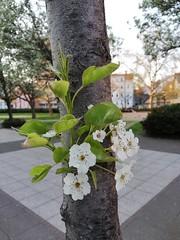 Wünsche euch ein schönes Wochenende (flixx-ak) Tags: flixxak offenbachammain hessen city natur nature pflanzen plant 2019 img20190411193051