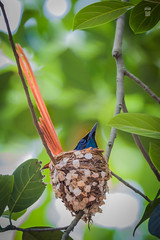 Asian paradise flycatcher/এশীয় শাবুলবুলি/শাহ্ বুলবুল/দুধরাজ (pinhole-photography) Tags: paradisebird birdofparadise flycatcher longtailedbird wildlife birdsofbangladesh