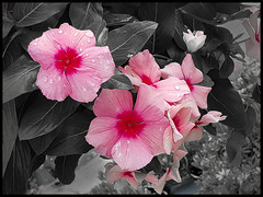 Selective Color (in Explore) (mimsjodi) Tags: saturdayselfchallenge floral flowers challenge groupchallenge cellphone selectivecolor