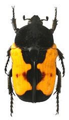 Polybaphes subfasciata (dries.marais) Tags: coleoptera cetoniinae scarabaeidae cetoniini fruitchafer polybaphes subfasciata africa southafrica
