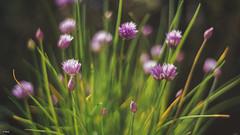 Chives flowers - Bieslook (Stevox-1) Tags: voigtlander40mmf14 voigtlander 40mm nature naturallight flowers flower a7ii bieslook kruid chives dof