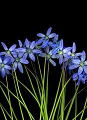59653.23 Scilla siberica (horticultural art) Tags: horticulturalart scillasiberica scilla flowers springflowers bulbs blue triangle closeup bouquet
