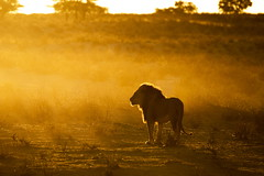 Lions of the Kgalagadi (Rob Keulemans) Tags: lion kgalagadi 2019 sunrise wi