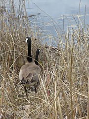 One goose, two goose... (jamica1) Tags: branta canadensis canada goose salmon arm shuswap nature bay bc british columbia nest