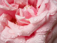 rose & drops (evablanchardcouet) Tags: water drops gouttes fleur flower rose petals
