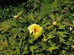2019 Germany // Unser Garten - Our garden // im Mai // Strauchpäonie (maerzbecher-Deutschland zu Fuss) Tags: garten natur deutschland germany maerzbecher garden mai unsergarten 2019 strauchpäonie