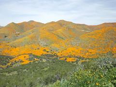 blanket of california poppies (h willome) Tags: 2019 california wildflowers superbloom lakeelsinore