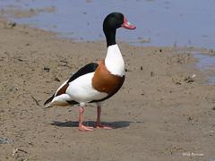 Common Shelduck Tadorna tadorna (nik.borrow) Tags: bird duck cley wildfowl