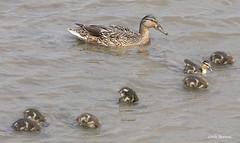 Mallard Anas p. platyrhynchos (nik.borrow) Tags: bird duck titchwell wildfowl