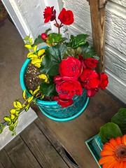 Scarlet Begonias in the Garden 2019 (eddyandtroymike@yahoo.com) Tags: red 2019 flowers garden colorado