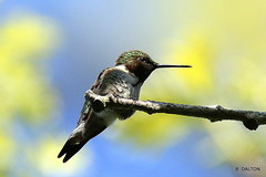 Morning Ruby-throated hummingbird (William  Dalton) Tags: hummingbird rubythroatedhummingbird birdbirds