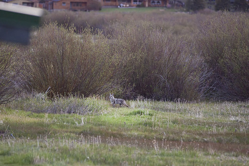 Coyote Visitor
