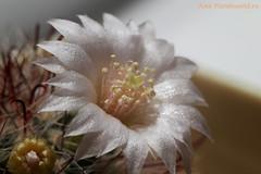 IMG_4822 (tuskarilla) Tags: mammillaria flower