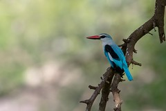 Martin chasseur du Sénégal Woodland Kingfisher (Le Méhauté Sébastien) Tags: martin chasseur du sénégal woodland kingfisher kruger parck afrique sud south africa wildlife wild bird oiseau