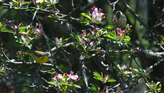 Nashville and Tennessee Warblers (PhotonPirate) Tags: nashville tennessee warbler oreothlypis ruficapilla peregrina crabapple tree spring flowers buds blossom bloom