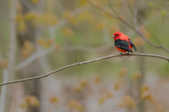 Scarlet Tanager (ayres_leigh) Tags: bird red forest nature tanager scarlet animal willdife purplewoods purple oshawa ontario migtration
