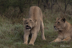GE0A3599 (fredericleme) Tags: safari safarigame bigfive southafrica africa rsa wild wildlife nature reserve game thanda preservation lion lions