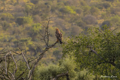 GE0A4992 (fredericleme) Tags: safari safarigame bigfive southafrica africa rsa wild wildlife nature reserve game thanda preservation lion lions eagle