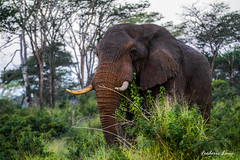 GE0A4275 (fredericleme) Tags: safari safarigame bigfive southafrica africa rsa wild wildlife nature reserve game thanda preservation elephant elephants