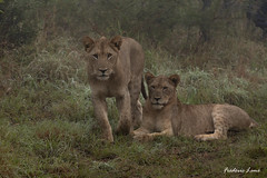 GE0A3705 (fredericleme) Tags: safari safarigame bigfive southafrica africa rsa wild wildlife nature reserve game thanda preservation lion lions