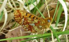 Pearl - bordered Fritillary, Hampshire, UK (east med wanderer) Tags: england uk hampshire newforestnationalpark nationalpark butterfly insect pearlborderedfritillary boloriaeuphrosyne