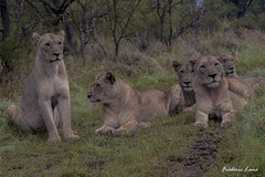 GE0A3590 (fredericleme) Tags: safari safarigame bigfive southafrica africa rsa wild wildlife nature reserve game thanda preservation lion lions