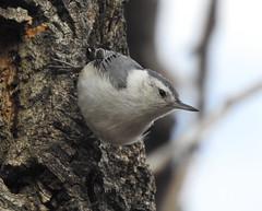 DSCN5327 (pamfromcalgary) Tags: bird fishcreekpark whitebreastednuthatch