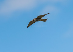 Hobby (143latorre) Tags: birds nightheron parquenaturaldelomonte purpleheron spainmay2019 squaccoheron