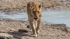 Lion (eric hughes 2014) Tags: lion animals wildlife nature outdoors safari africa kenya 2019 canon 7dmarkii 300mmf28lllisusm