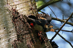 great spotted woodpecker (DODO 1959) Tags: greatspottedwoodpecker avian wildlife animal outdoor birds fauna nesthole trees flight england somerset rspbhamwall canon 1dmk4 100400mmmk2