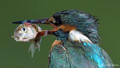 Martin pescatore (Massimo Greco *) Tags: martinpescatore