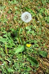 May in Bloom 257 (Donna's View) Tags: nikon d3300 backyard flowers spring dandelion taraxacum