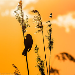 Shadow of a Sedge Warbler singing in the light of the setting sun (Steppenwolf33) Tags: warbler bird sunset reed müggelsee köpenick steppenwolf33 lake