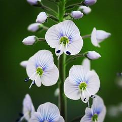 Veronica Tissington White (viki_paterson) Tags: gardening garden flowermacro macro squareflowers springflowers veronicatissingtonwhite veronica flowers flower